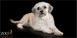 Beautiful Maltese cross Shih Tzu laying down.
