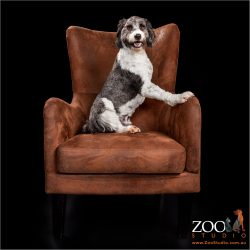 Adorable Border Collie cross Poodle sitting on a chair.
