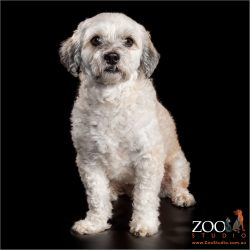 Adorable Maltese cross Shih Tzu sitting nicely.