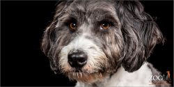 Close up of Border Collie cross poodle.