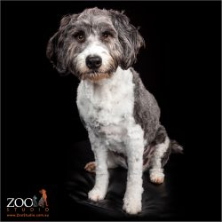 Beautiful Border Collie cross Poodle sitting.