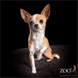 Lovely Chihuahua sitting nicely.