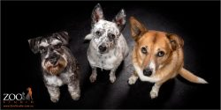 Gorgeous family of a Corgi cross Kelpie, Australian Cattle Dog cross and a Miniature German Schnauzer.