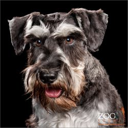 Sweet Miniature German Schnauzer close up.