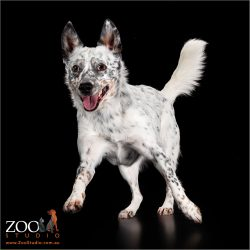Lovable Australian Cattle Dog cross on the move.