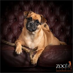 Gorgeous Jack Russell cross Pug laying on a couch.