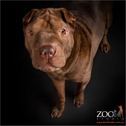 Gorgeous Shar Pei x Mastiff looking into the camera.