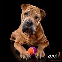 Beautiful Shar Pei playing with his ball.