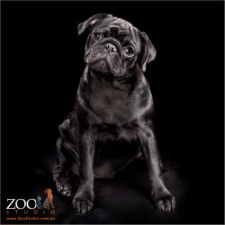 Adorable black Pug sitting pretty.