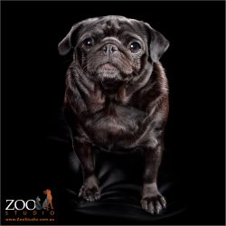 Sweet black Pug standing and posing.