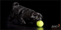Lovable black Pug playing with a ball.