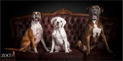 Three gorgeous Boxers sitting on a couch.