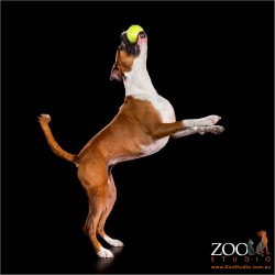 Lovable Boxer playing with a ball.