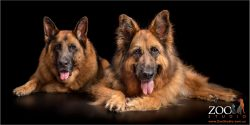 A pair of  gorgeous German Shepherds laying next to each other.