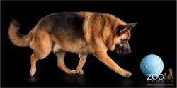 Lovable German Shepherd on the move.