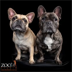 Two adorable French Bulldogs sitting next to each other.
