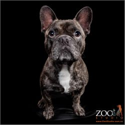 Gorgeous French Bulldog sitting pretty.