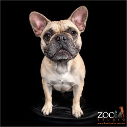 Cute French Bulldog sitting pretty.