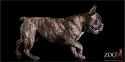 Lovable French Bulldog on the move.