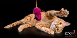 Gorgeous ginger Tabby cat playing with his toy.