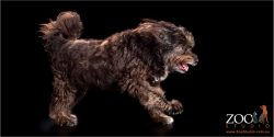 Sweet Border Collie cross Poodle on the move.