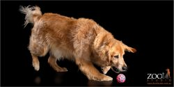 Lovable Golden Retriever playing with a ball.