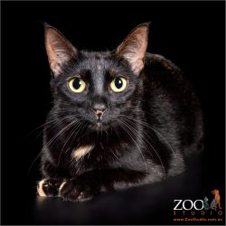 Brilliant black cat staring at camera.