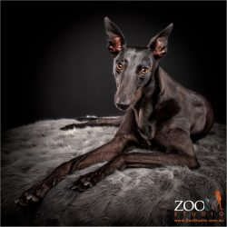 Gorgeous black Greyhound resting on a blanket.
