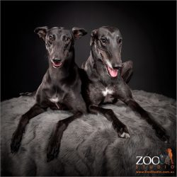 Adorable black Greyhound relaxing side by side.