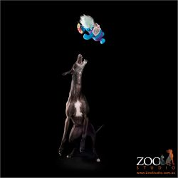 Lovable black Greyhound leaping to grab a toy.