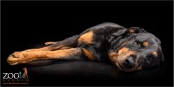 Gorgeous Rottweiler laying on an ottoman.