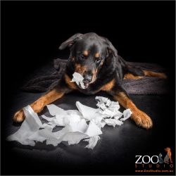 Beautiful Rottweiler tearing up some paper.