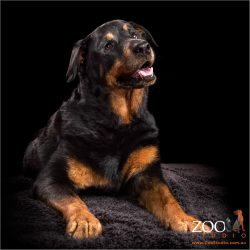 Sweet Rottweiler posing for the camera.