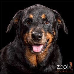 Lovable Rottweiler close up.