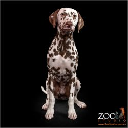 Beautiful Dalmation puppy sitting nicely.