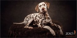 Cute Dalmation puppy relaxing.