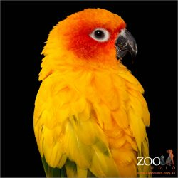 Beautiful Sun Conure close up.