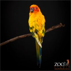 Showing the stunning colours of a Sun Conure.