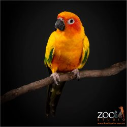 Beautiful Sun Conure sitting on a branch.