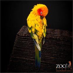 Adorable Sun Conure preening her feathers.