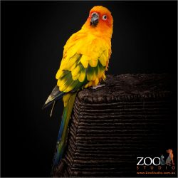 Lovely Sun Conure sitting pretty.