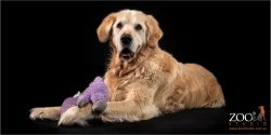 Lovable Golden Retriever playing with a toy.