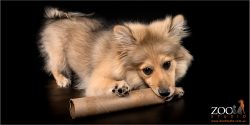 Gorgeous Throwback Pomeranian chewing on a cardboard tube.