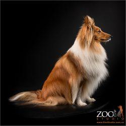 Gorgeous Shetland Sheepdog sitting pretty.
