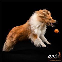 Adorable Shetland Sheepdog playing with a ball.