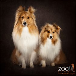 Cute pair of Shetland Sheepdogs sitting next to each other.
