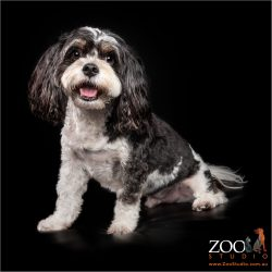 Beautiful Maltese cross Cavalier King Charles Spaniel sitting pretty.