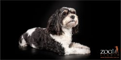 Gorgeous Maltese cross Cavalier King Charles Spaniel posing.