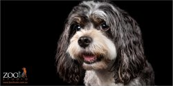 Sweet Maltese cross Cavalier King Charles Spaniel close up.