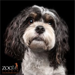 Maltese cross King Charles Cavalier Spaniel looking cute.